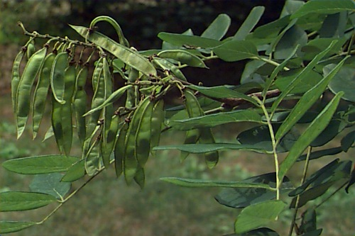 maackia seeds
