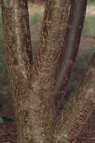 maackia bark