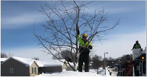 Pruning on snow bank